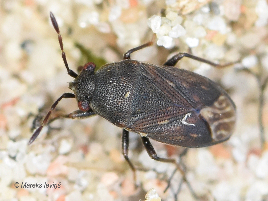 Stygnocoris fuligineus